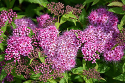 Anthony Waterer Spirea (Spiraea x bumalda 'Anthony Waterer') at Parkland Garden Centre