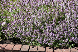 Common Thyme (Thymus vulgaris) at Parkland Garden Centre