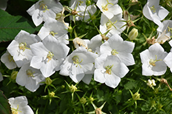 White Clips Bellflower (Campanula carpatica 'White Clips') at Parkland Garden Centre