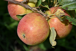 Odyssey Apple (Malus 'Jefsey') at Parkland Garden Centre