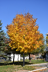 Unity Sugar Maple (Acer saccharum 'Unity') at Parkland Garden Centre