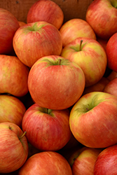 Honeycrisp Apple (Malus 'Honeycrisp') at Parkland Garden Centre