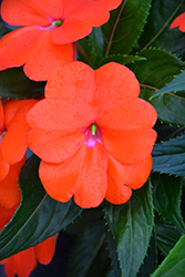 Sonic® Orange New Guinea Impatiens (Impatiens 'Sonic Orange') at Parkland Garden Centre